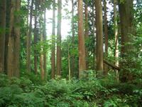 杉の立ち木。この会社は山に生えている立ち木の状態を購入されます。